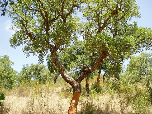 ALCORNOQUE: Quercus suber