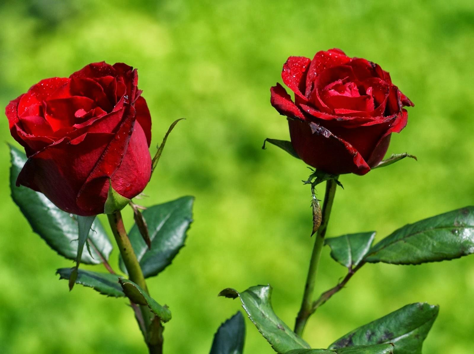 Flowers significado de las rosas seg n su color - Significado rosas amarillas ...