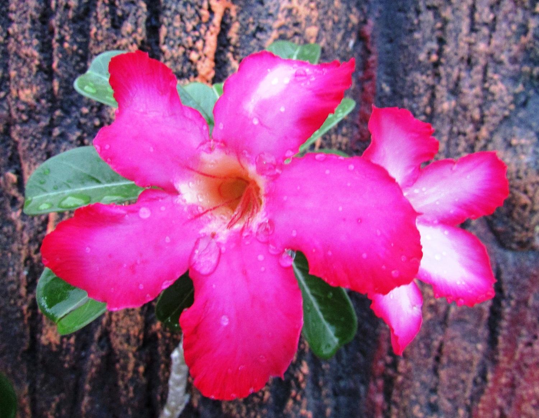 Indanya Bonsai Bunga Kamboja