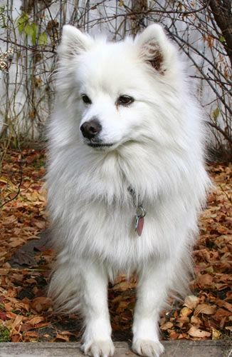Cute American Eskimo Dog