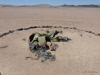 Reisen Afrika Namibia Welwitschia Mirabilis