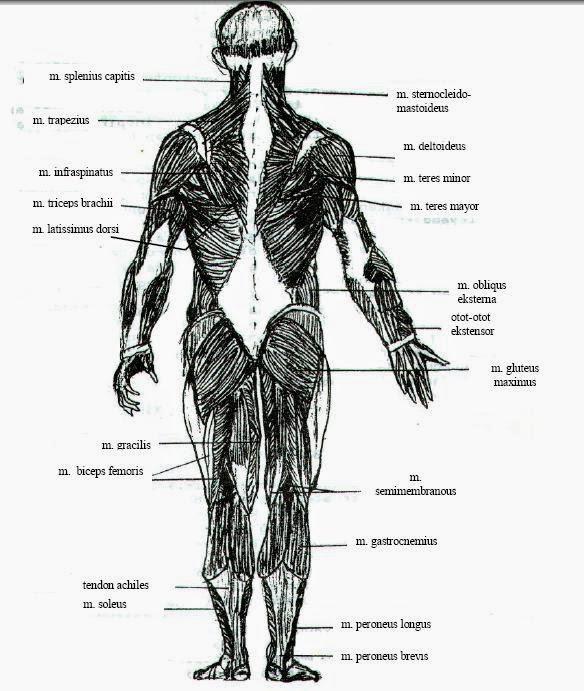 otot tampak belakang
