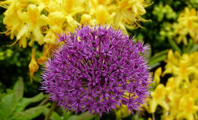 Burton in Lonsdale, Open Gardens, allium, azalea
