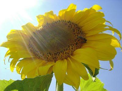 multiflorafernandopolis%252C%2Bgirassol%252C%2Bcultivando%2Bflores%2Be%2Bplantas%252C%2Bjardins Como montar uma horta em casa   Fotos e modelos