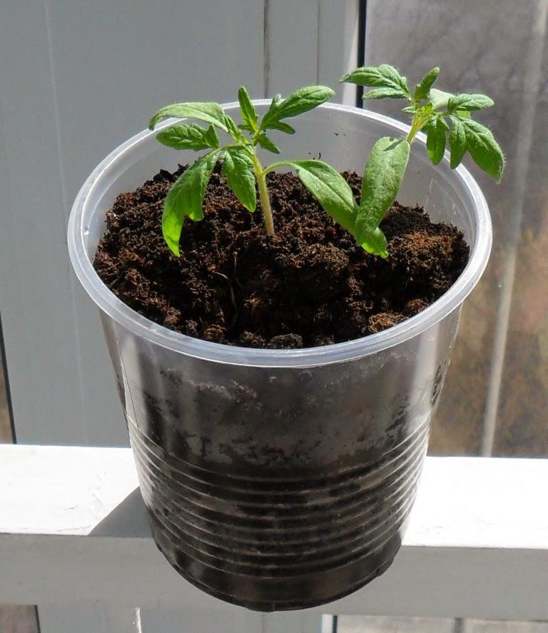 Ростки помидоров подрастают