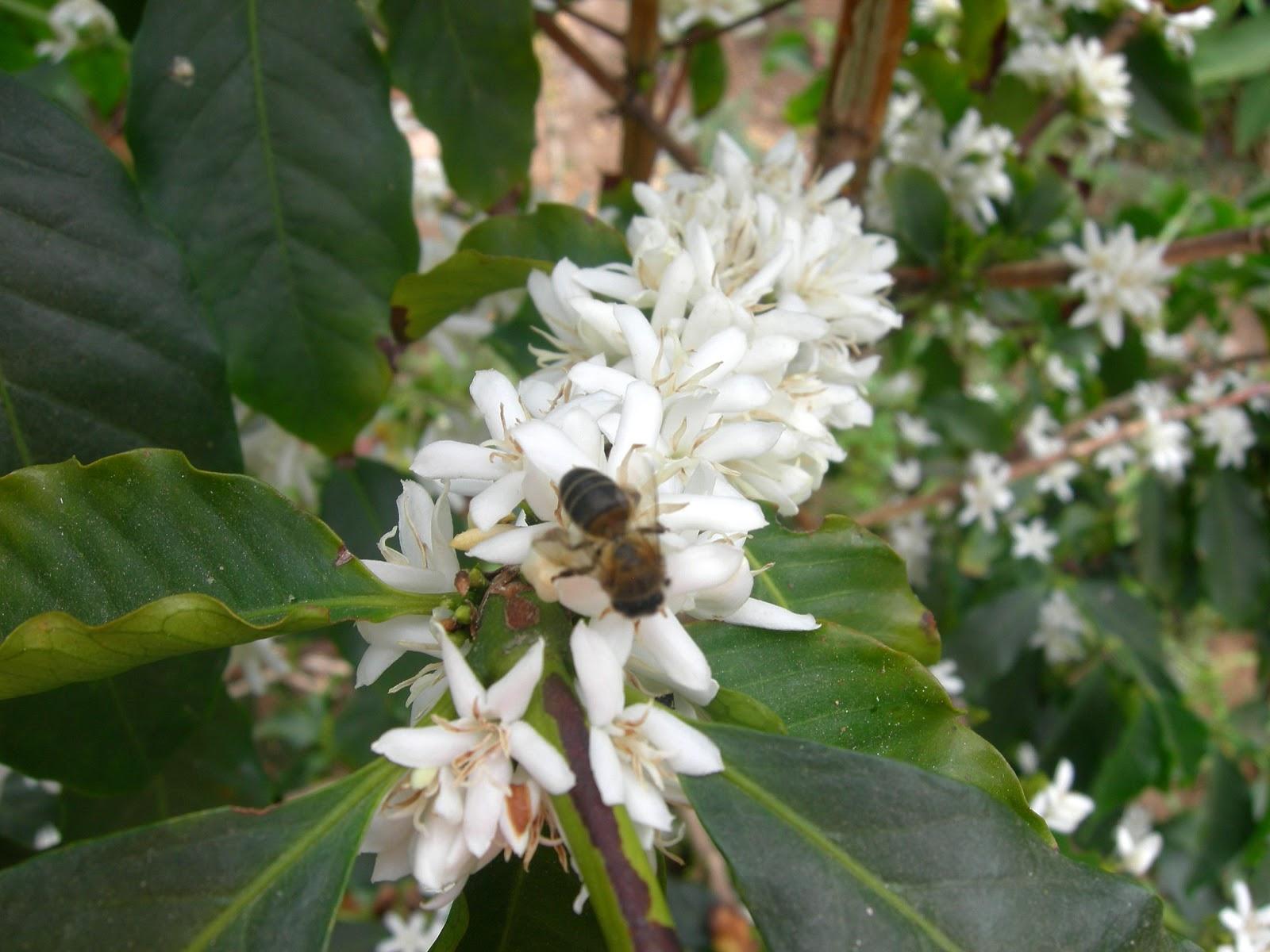 Resultado de imagen para abejas y cafe