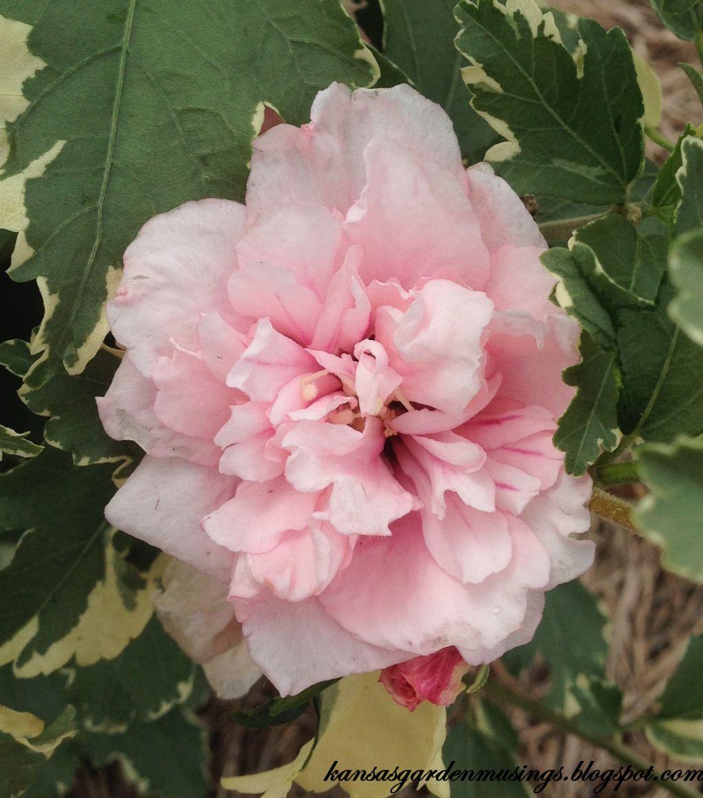 Viagra rose
