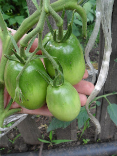 помидоры сорт Кенигсберг