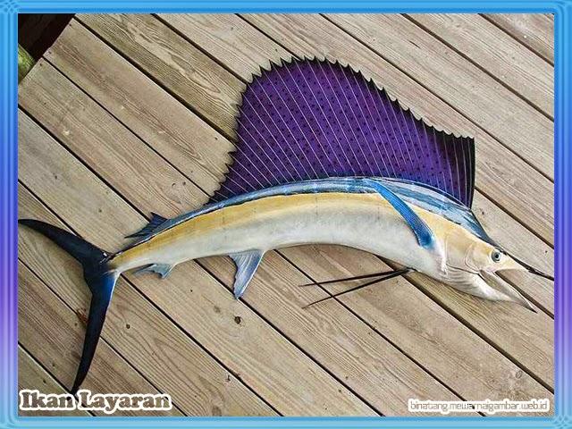 Ikan Layaran