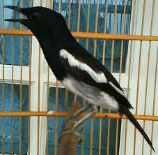 Cara paling ampuh agar burung kacer cepat gacor