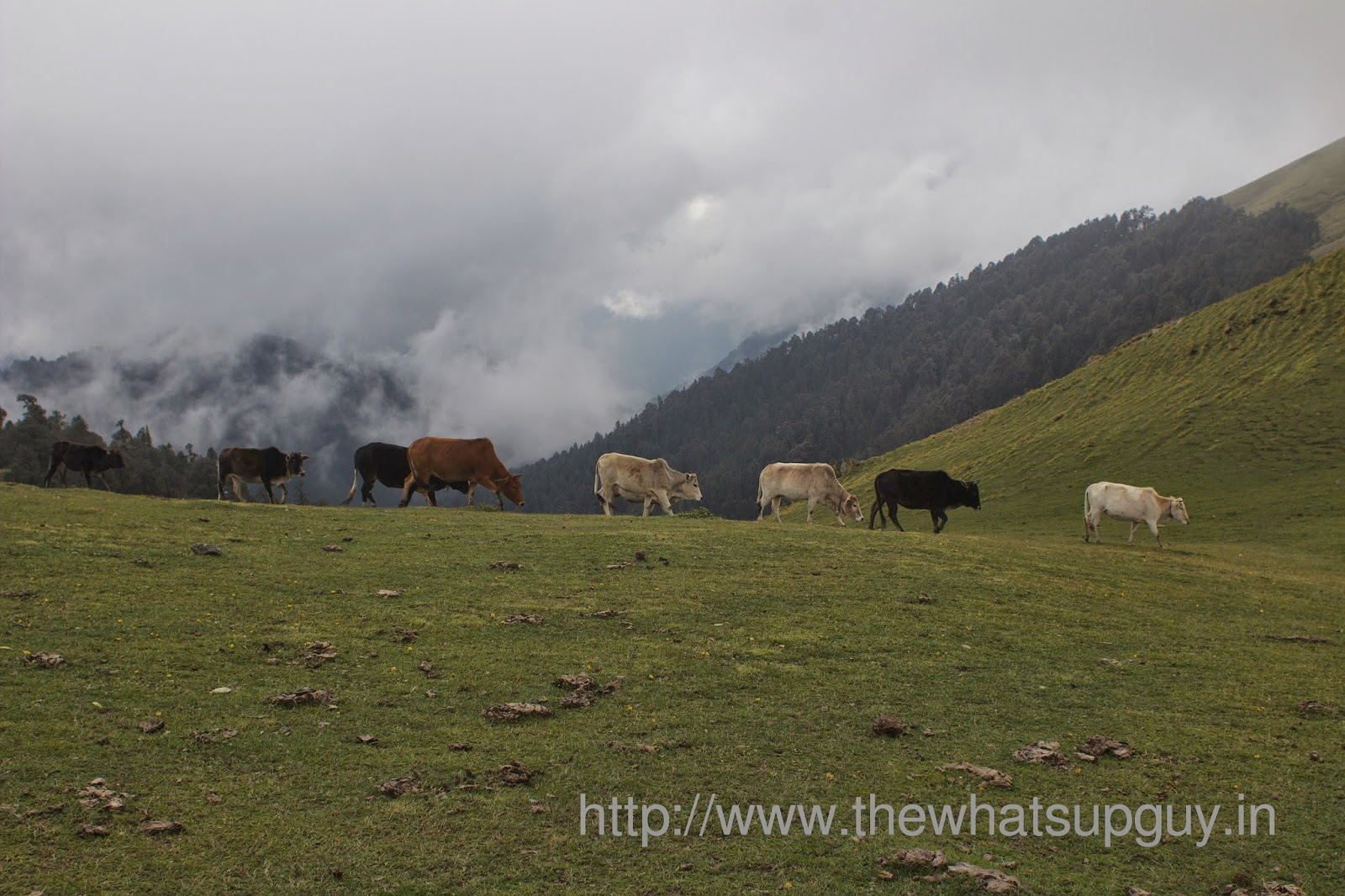 Ali-Bugyal-Cows-Roopkund-Trek-With-India-Hikes-Day-2