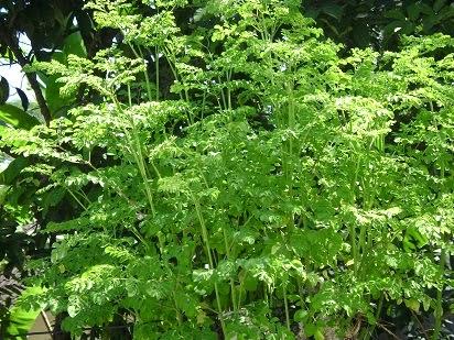 manfaat daun kelor untuk kesehatan,daun kelor untuk diabetes,daun kelor untuk mata,