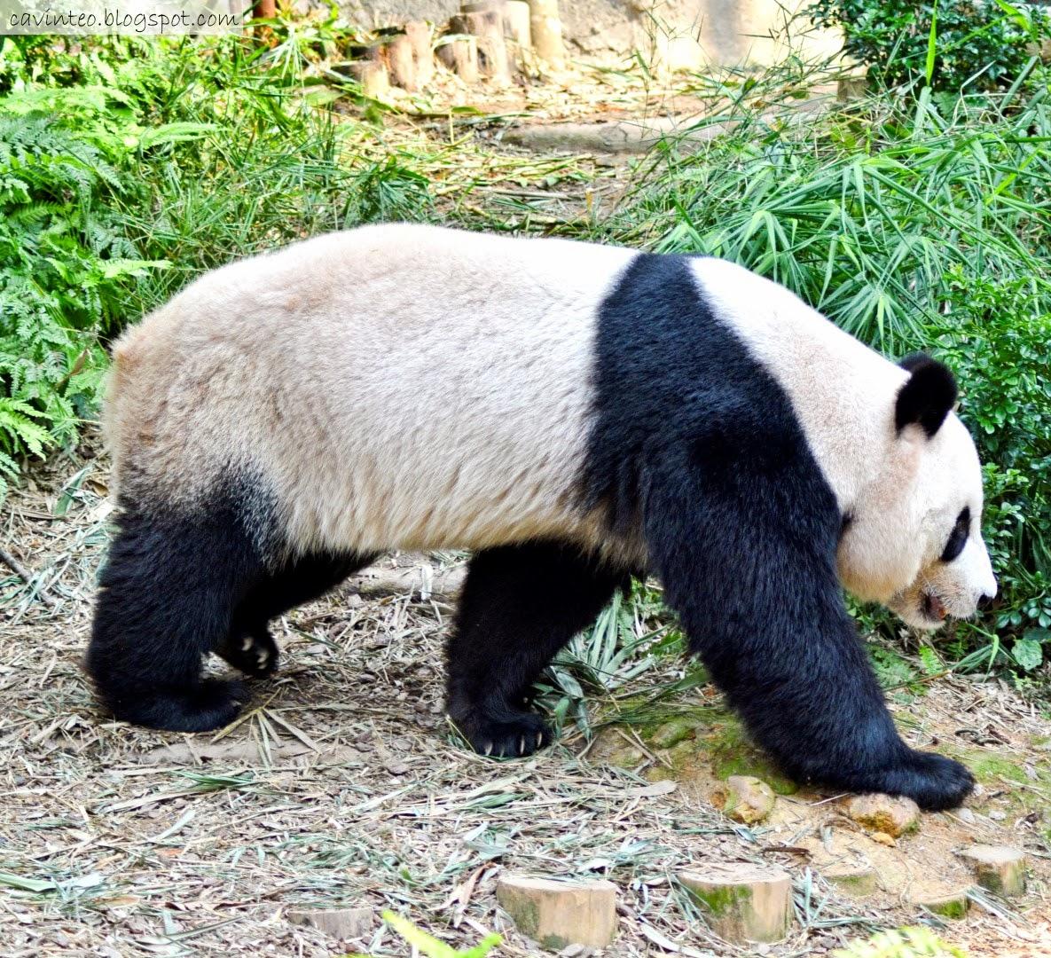 entree kibbles giant panda forest saying hi to kai kai. Black Bedroom Furniture Sets. Home Design Ideas
