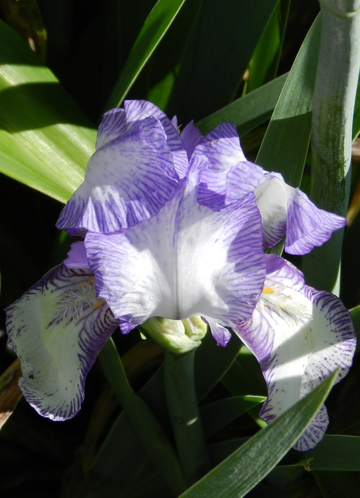 For the love of gardening iris mania chereau germanica bearded iris this is a smaller iris in a huge clump simply covered in blooms registered in 1844 by lemon and bought from select seeds izmirmasajfo Choice Image