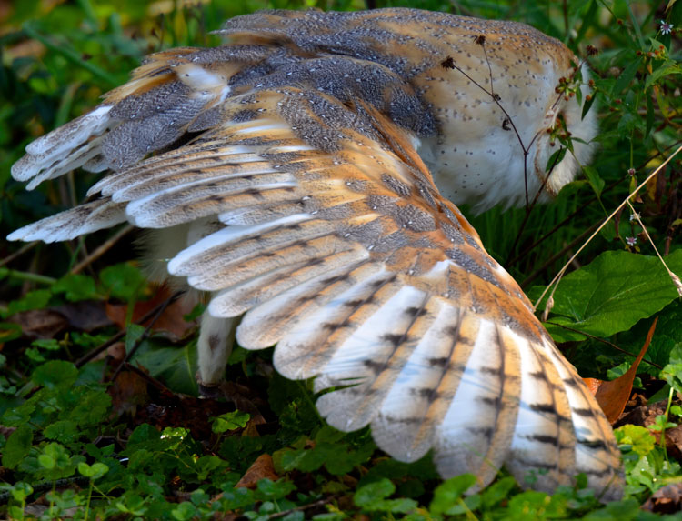 "Close-up of a wing of a barn owl -- ""Storm"" from RAPTOR, Inc."