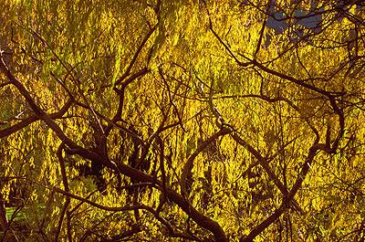 Autumn Willow4