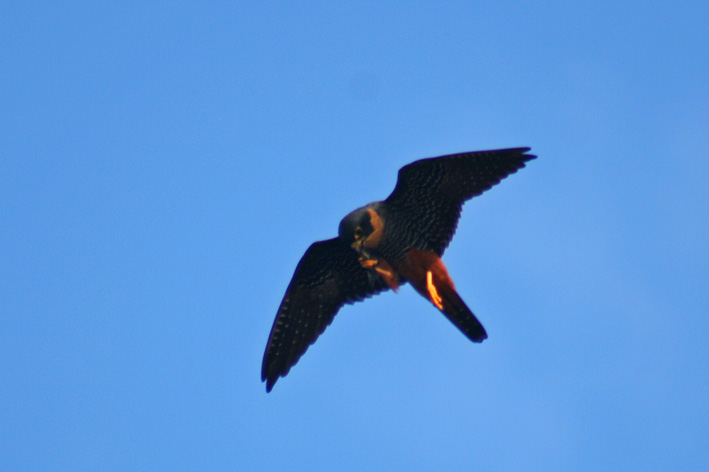 Falconiformes. sub Falconidae - sub fam Falconinae - gênero Falco - Página 2 Falco+rufigularis