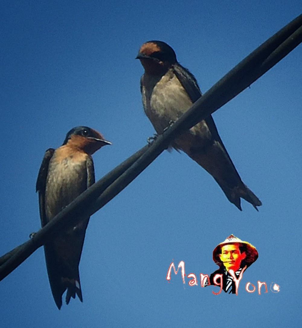 Burung layang – layang bertelur, tapi tidak ada iler dalam sarang seperti burung walet.