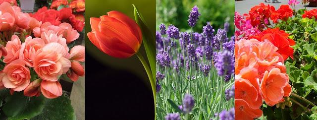 begônia, tulipa, alfazema, gerânio