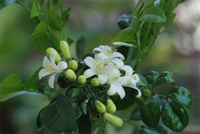 Cerita Rakyat Nusantara Hikayat Bunga Kemuning