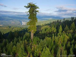 Hyperion, pohon tertinggi