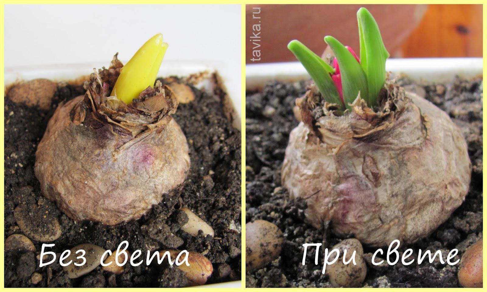 Растения и свет - опыты