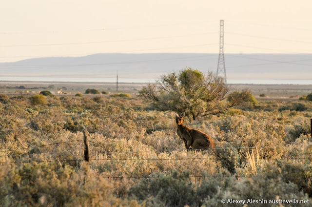 Kangaroos and emus are easily found around Spear Creek, Woolundunga, South Australia