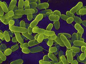 bakteri ecoli