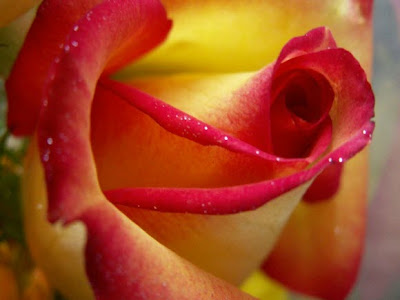wallpaper rose flower. wallpaper rose flower. wallpaper rose flower. rose flower wallpaper download