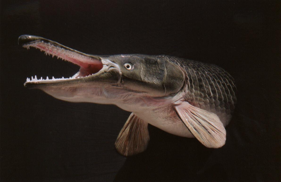 The fishing news may 2011 for Gar fish texas