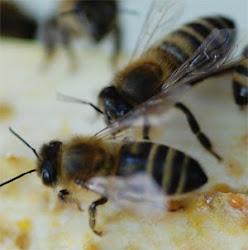 Carniolan Bees