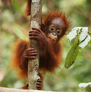orangutan child