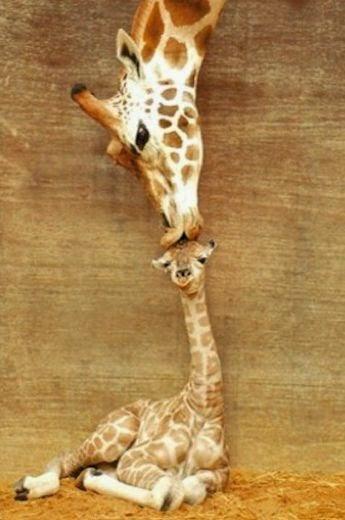 maman girafe embrasse bébé girafon sur la tête