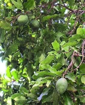 Benefits Of Tonka Bean (Dipteryx Odorata) Herb For Health
