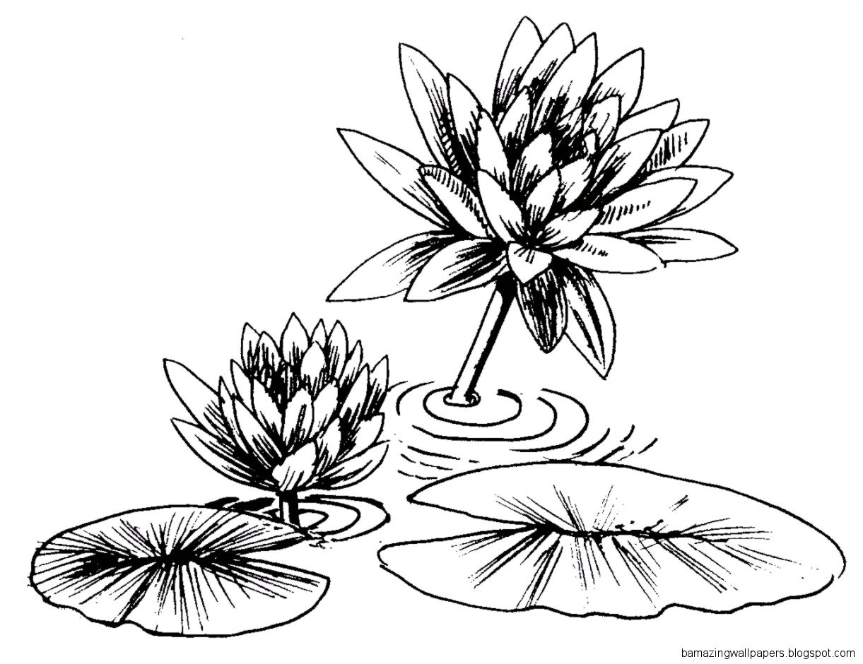 Lily pad flower drawing amazing wallpapers view original size izmirmasajfo