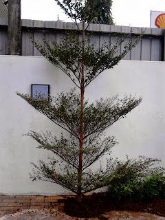 pohon ketapang kencana 4