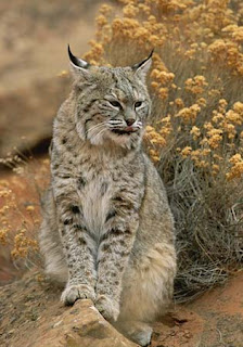 bobcat wild animal wallpaper picture