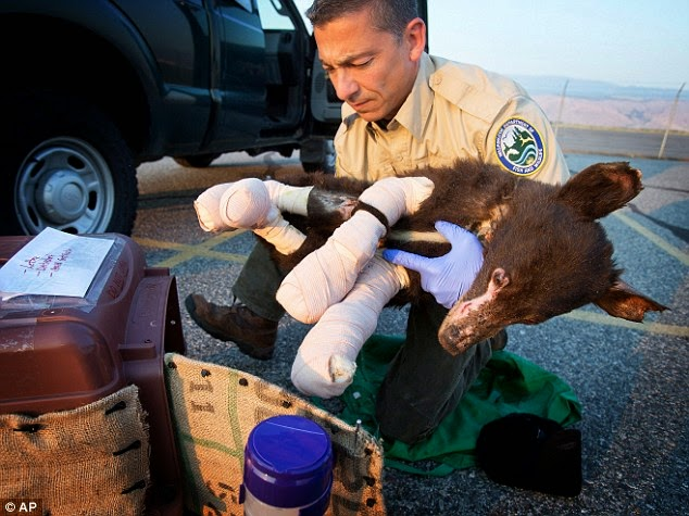 Burned Bear Cub Gets Human Help After Wildfire Rescue (VIDEO)