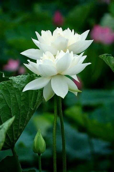 List of white flowers dreamy nature lotus list of white flowers mightylinksfo