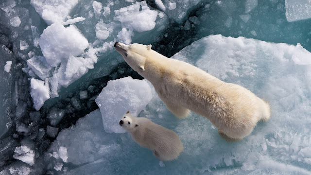White bears family in iceberg