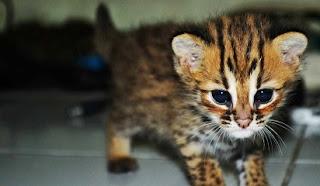 makanan kucing hutan blacan,hutan anakan,kampung,harga makanan kucing,terbaik,persia,blackwood,equilibrio,