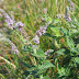 Which herbs relieve symptoms of asthma