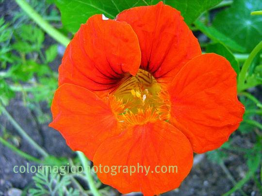 Red nasturtium flower-closeup