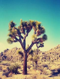 http://www.etsy.com/listing/165826840/8-x-10-joshua-tree-desert-california?ref=market
