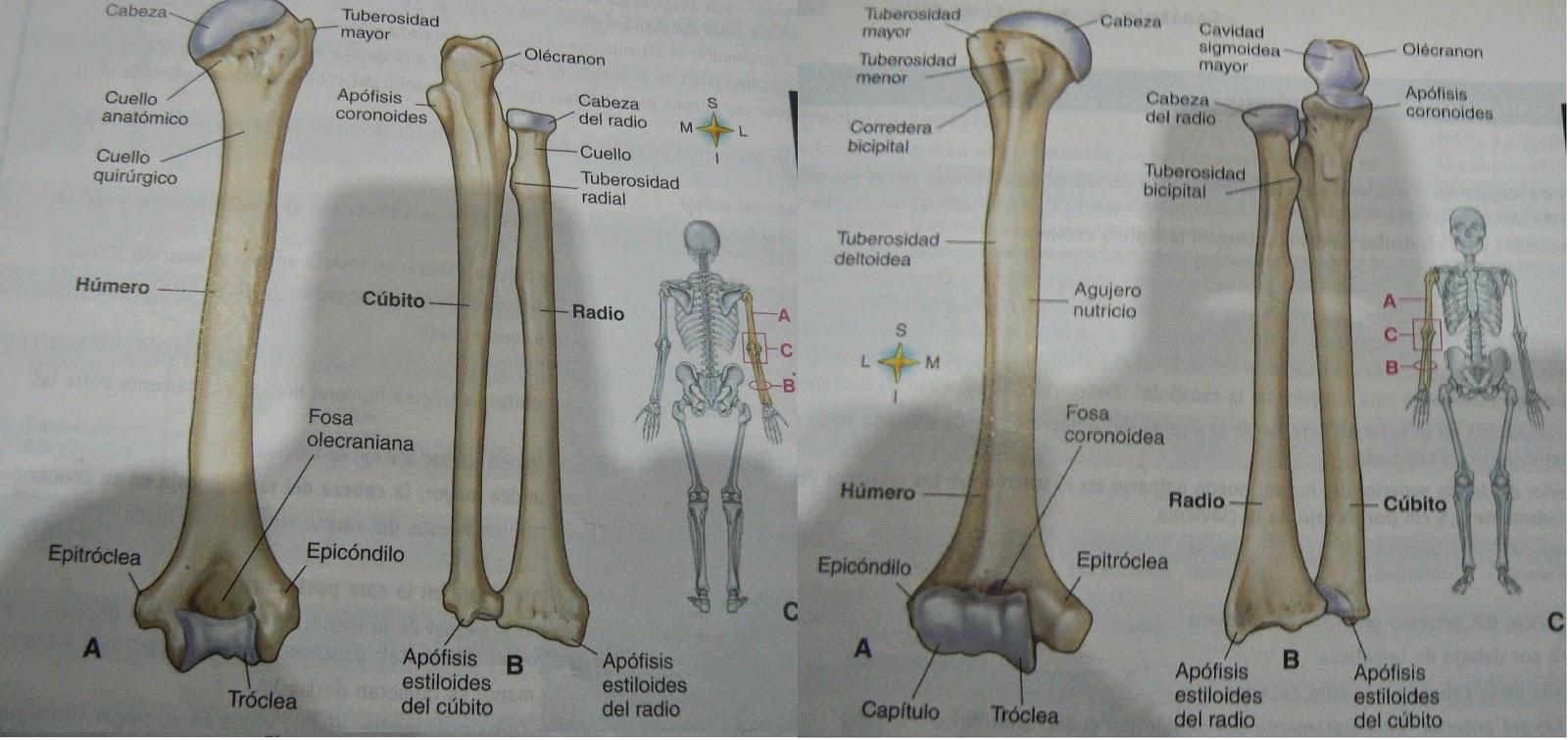 Conociendo El Cuerpo Humano: Osteología