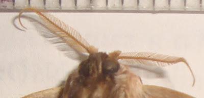 butteflies and moths Lirimiris