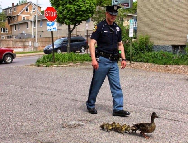 #22. A mother duck and her babies find a friendly police man to help them cross the road safely.  - 24 Happy Animal Photos Made Possible By The People Who Saved Them.