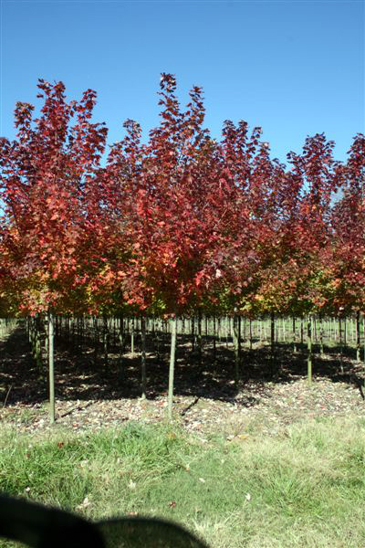 Autumn Blaze Maple For Sale4