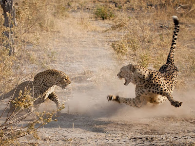 leopardo-vs-guepardo-africa