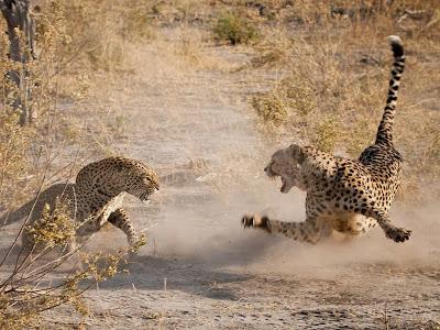 leopardo-vs-guepardo-africa